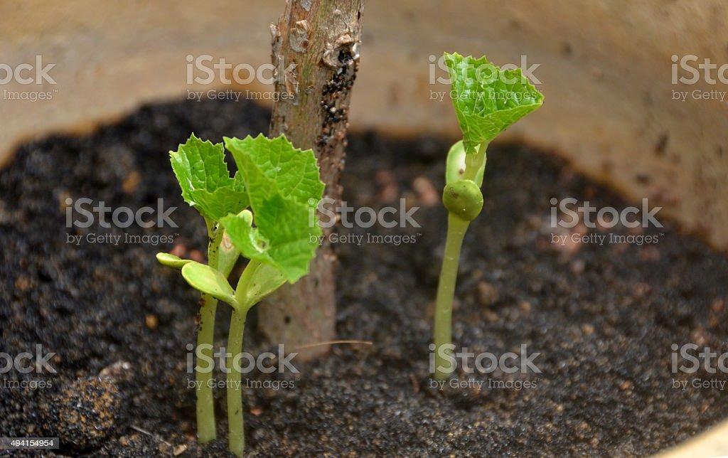 Bitter Gourd Seedling stock photo