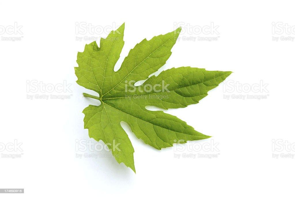 Bitter Melon Leaf Sample stock photo