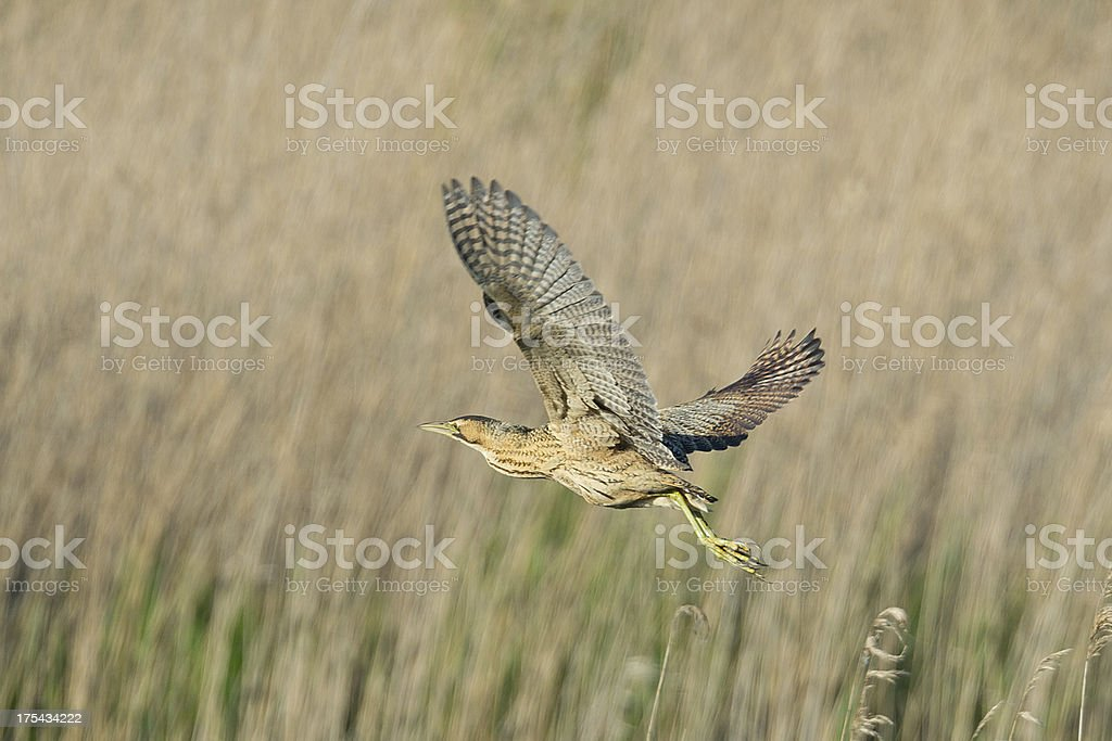 Bittern flying above the reeds. stock photo