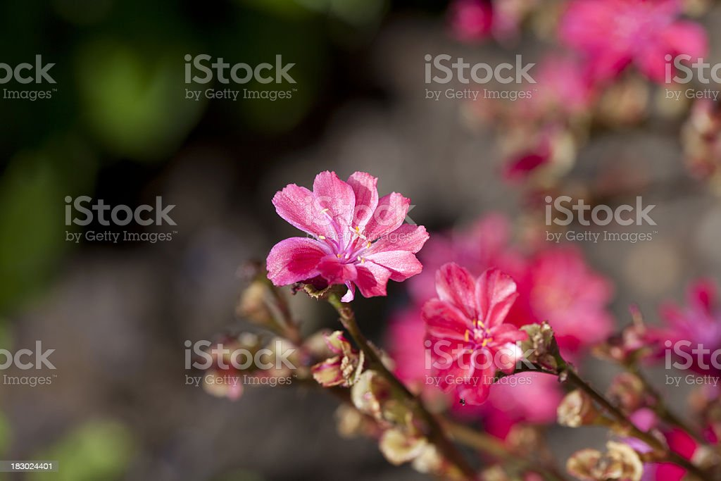 Bitterroot (Lewisia cotyledon) stock photo