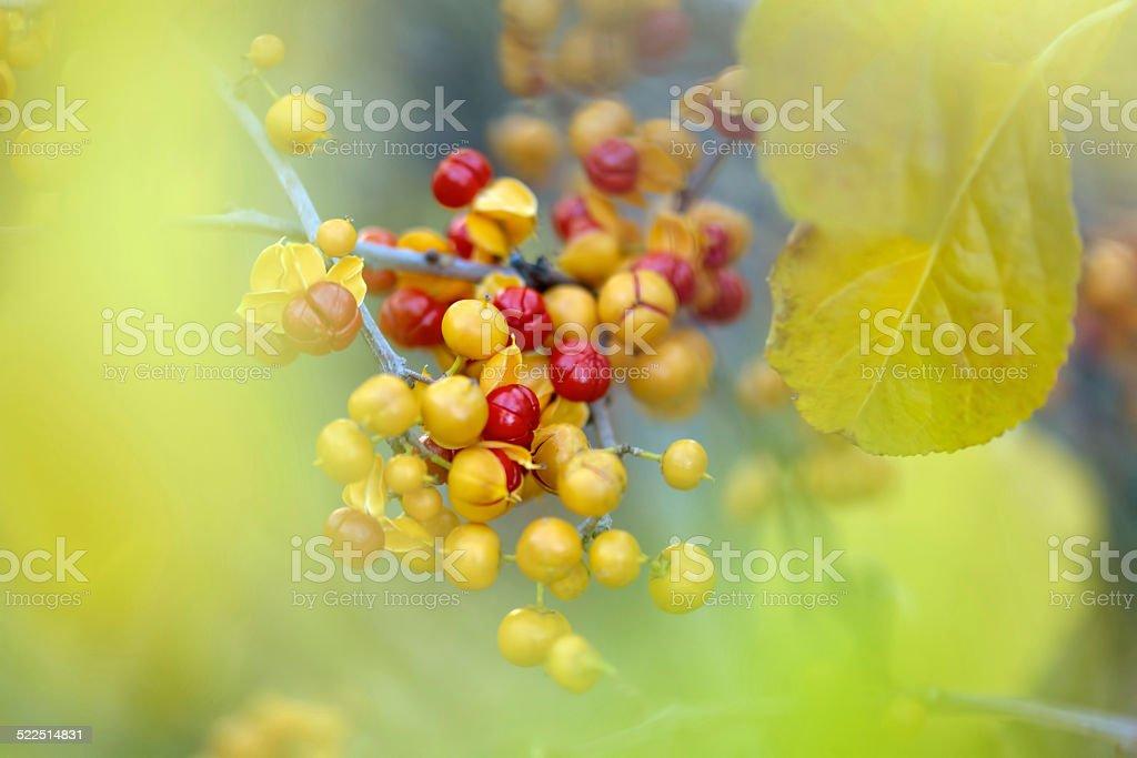 Bittersweet berries background stock photo