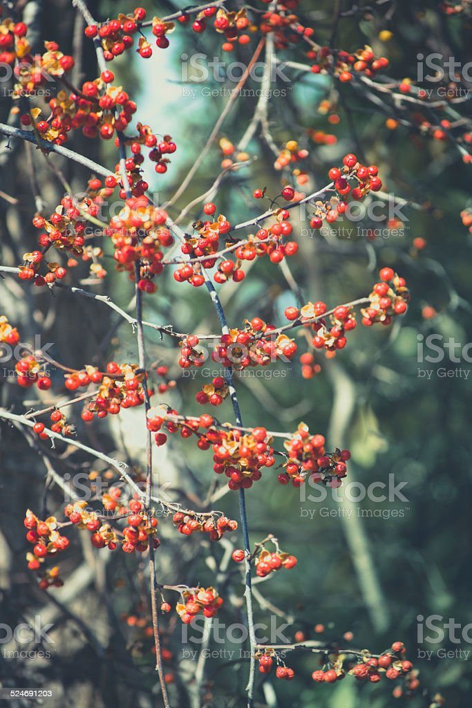 Bittersweet Vine Loaded with Red, Orange and Gold Fruits stock photo
