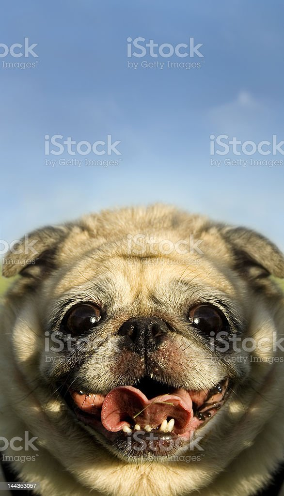 Bizarre Funny silly happy pug face royalty-free stock photo
