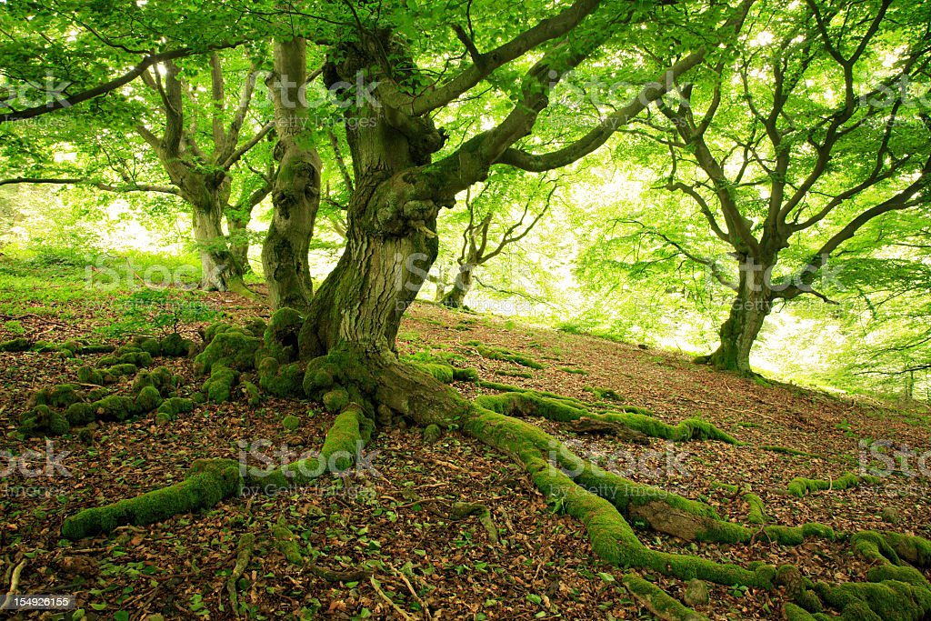 Bizarre Gnarled Beech Trees in Green Spring Forest stock photo