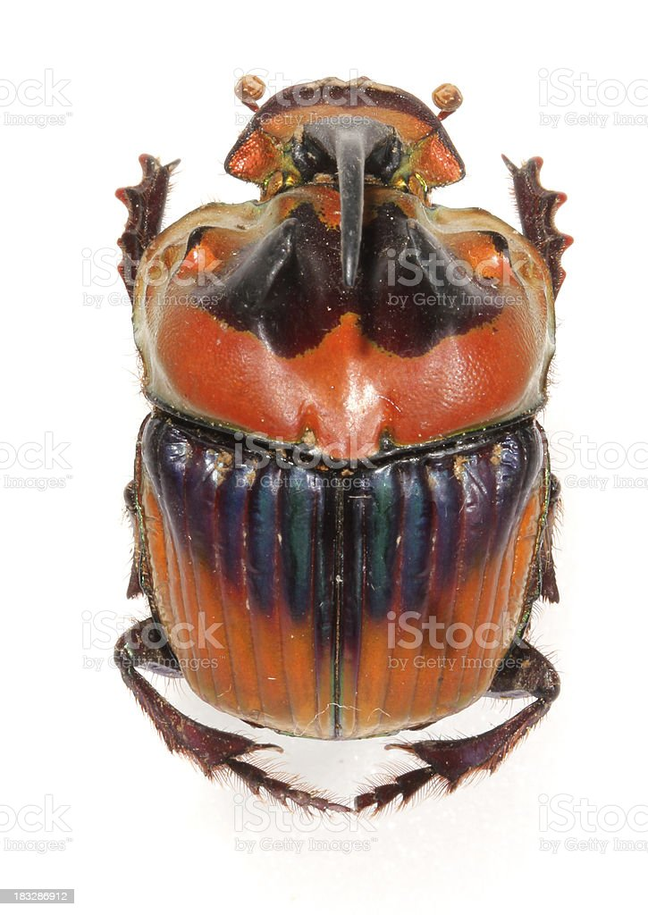 A bizarre looking Rhinoceros beetle on white background. stock photo