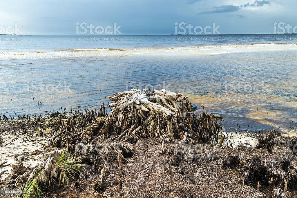 bizarre old rotten trees at the coast royalty-free stock photo