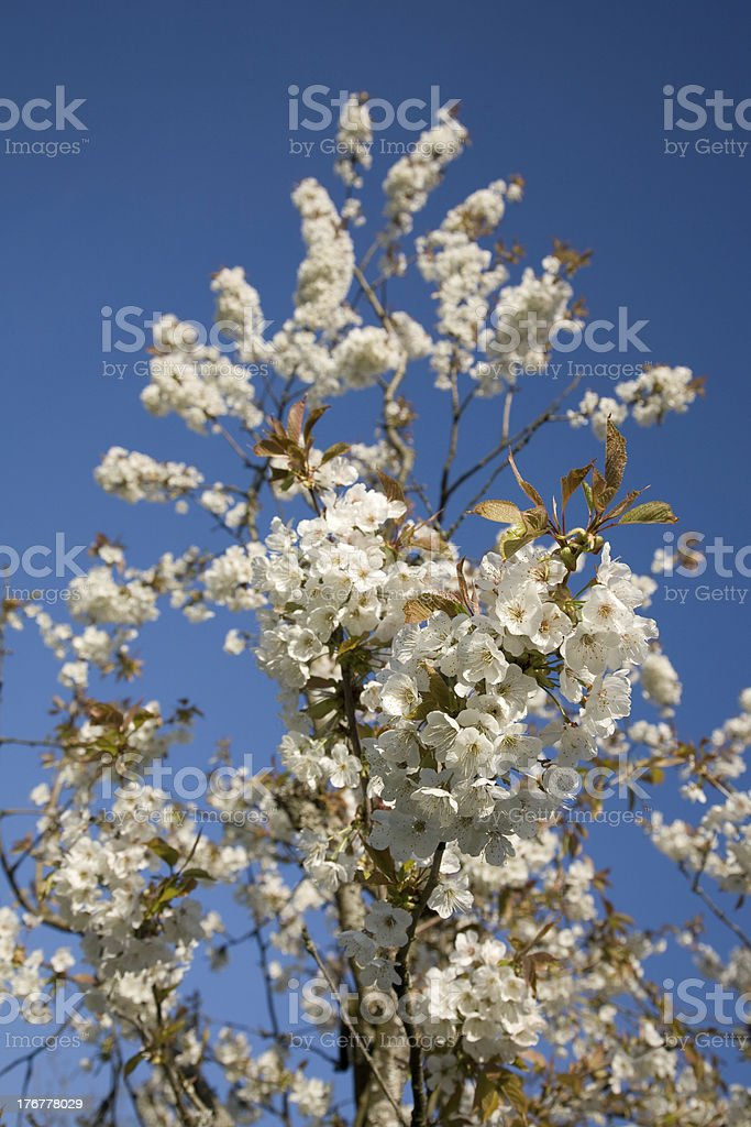 Blüten Apfelbaum stock photo