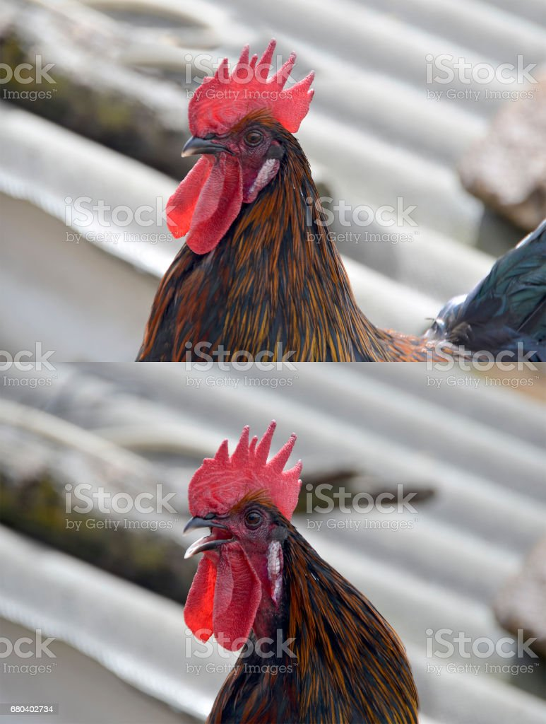 blac cock crowing stock photo