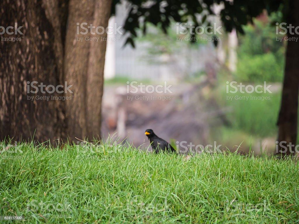 Black Acridotheres Bird stock photo