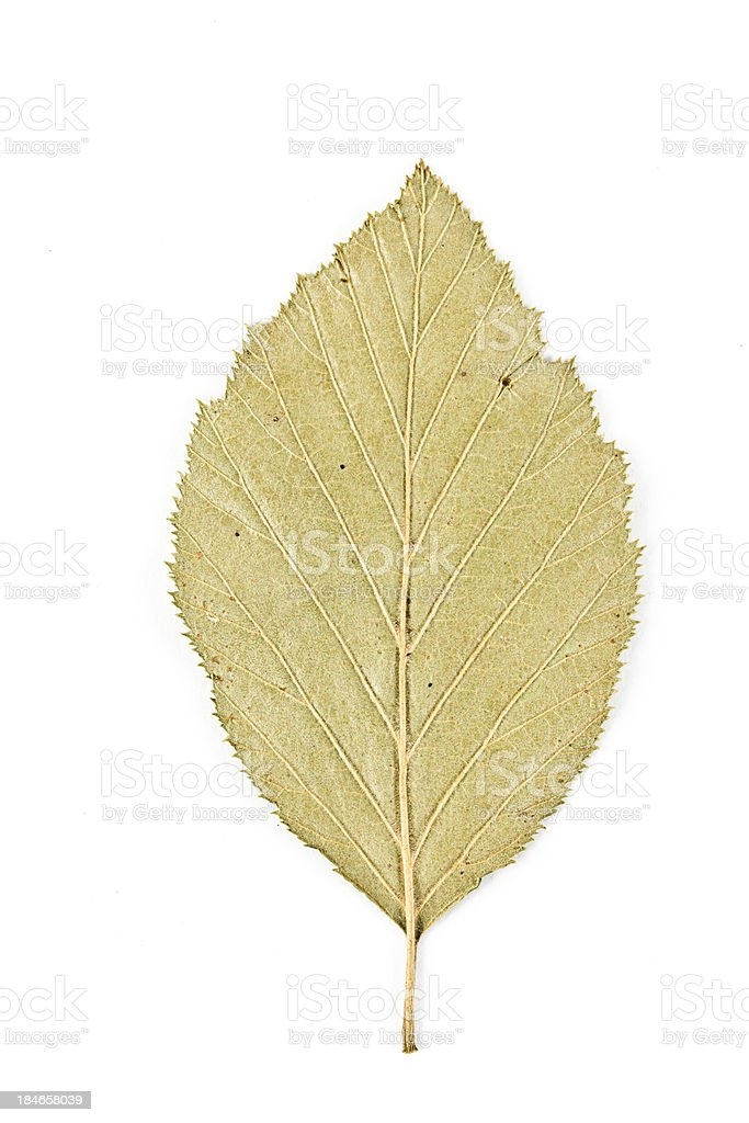 Black Alder Leaf stock photo