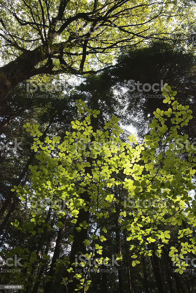 Black alder tree tops with green leafs glowing in sunlight stock photo