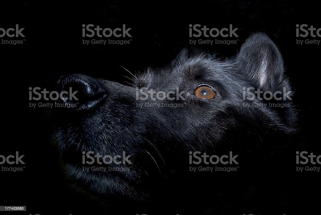 Black dog staring up. Lit from the top. Reflection in the eye. Black...