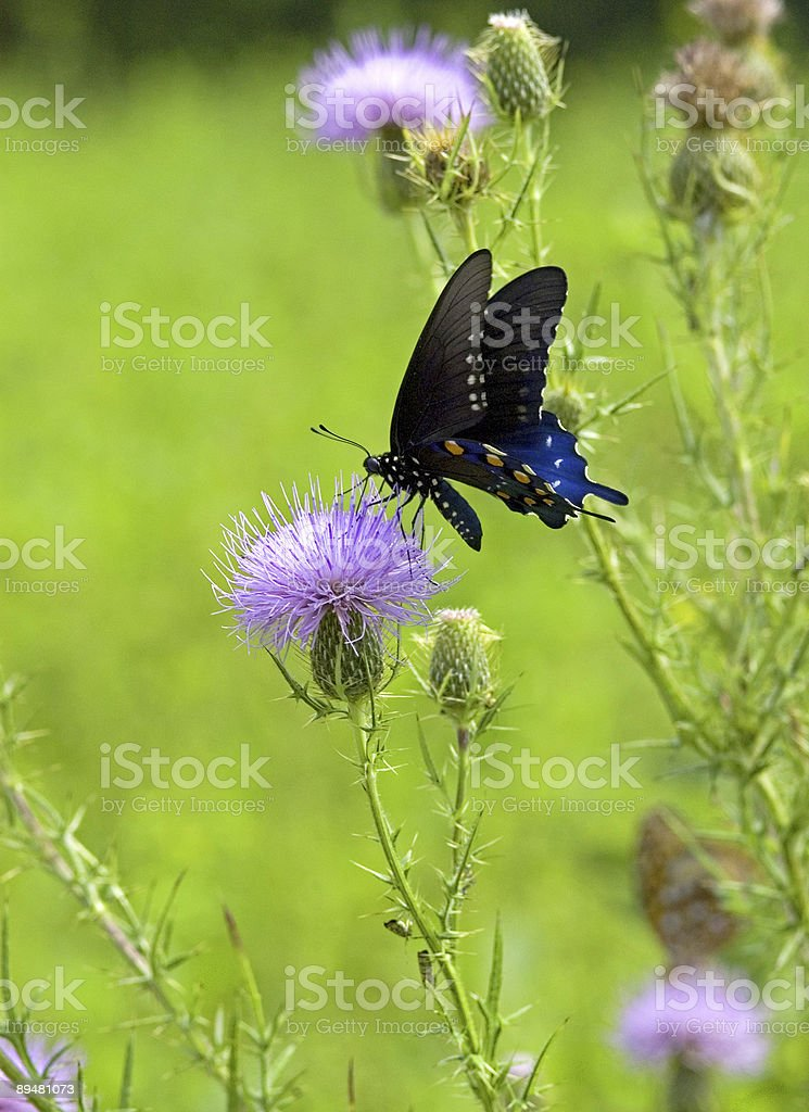 Black and Blue Butterfly on a Thistle royalty-free stock photo