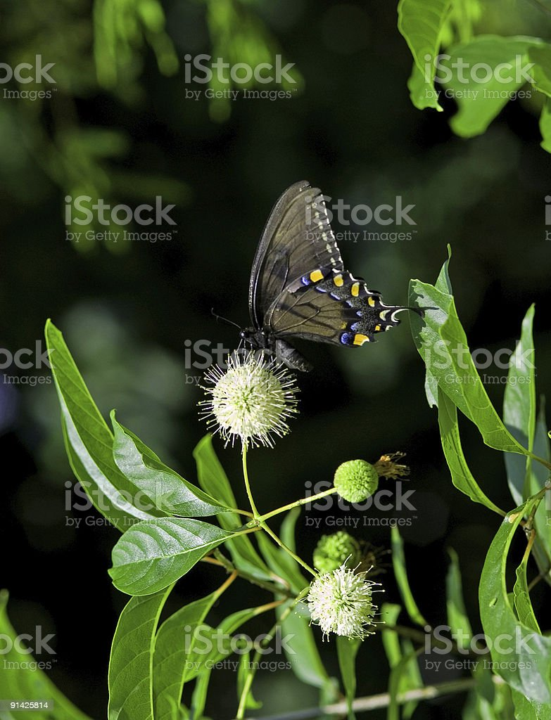 Black and Blue Butterfly on a White Thistle royalty-free stock photo