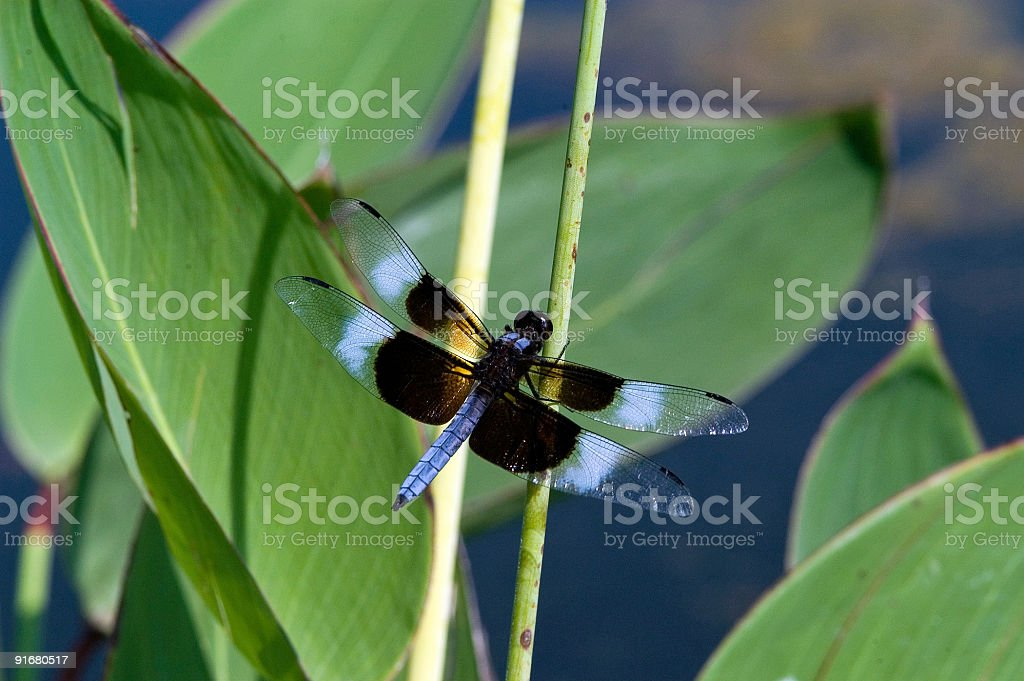 Black and Blue Dragonfly on Reed royalty-free stock photo