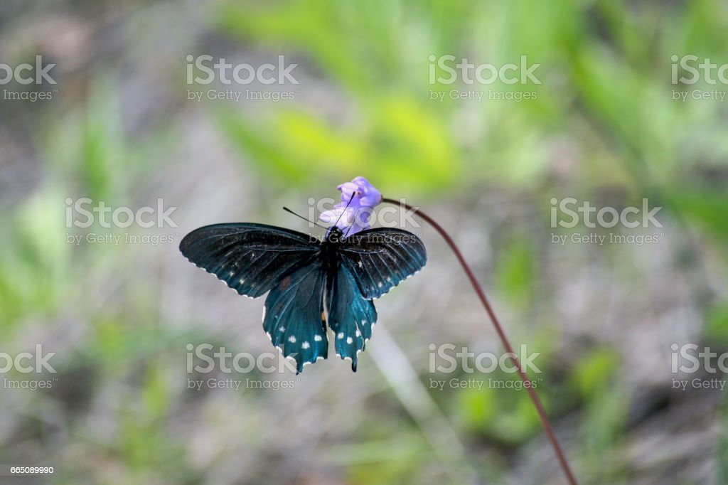 Black and Blue Swallowtail Butterfly Gathers Nectar from Purple Wildflower stock photo