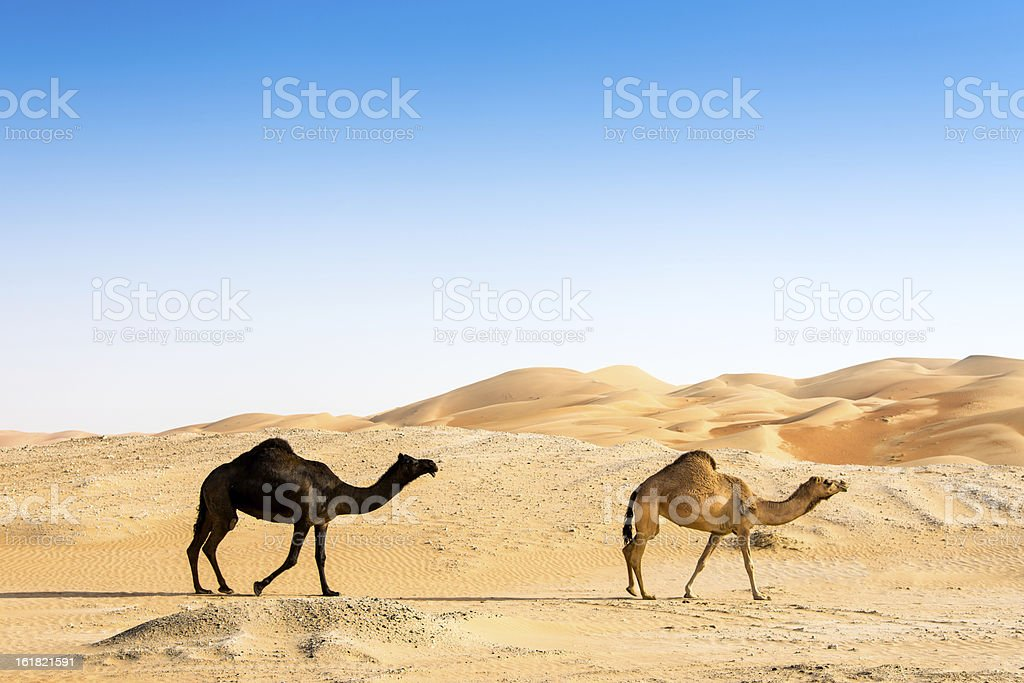 Black and Brown Camel Together stock photo