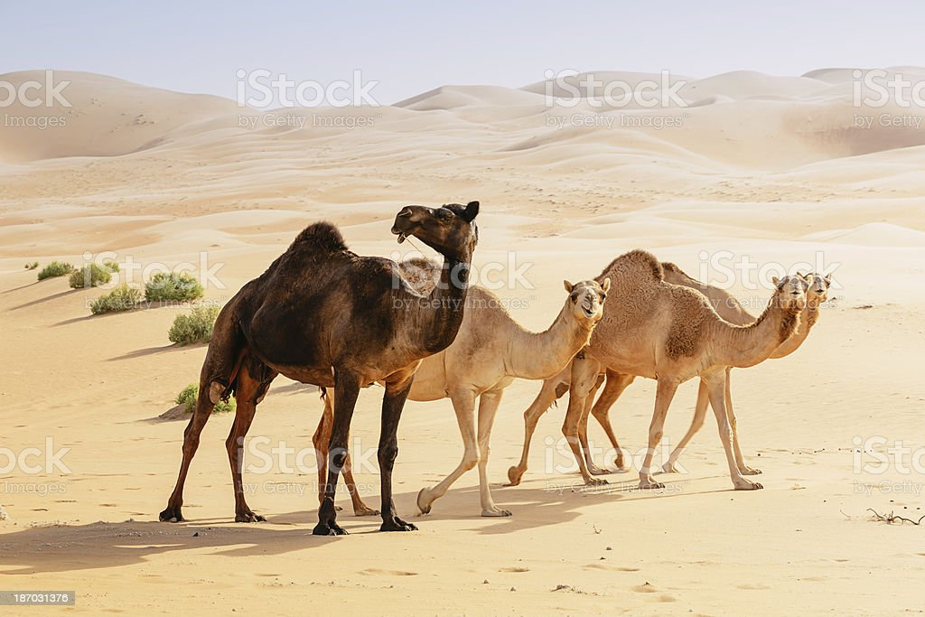Black and Brown Camels in the Desert stock photo