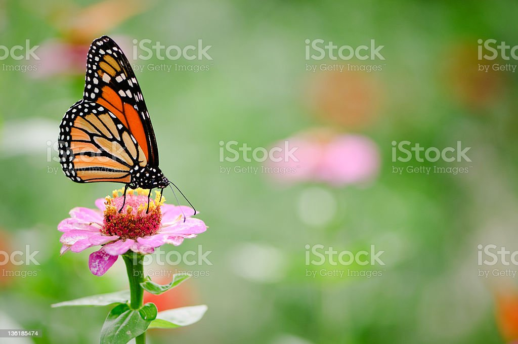 Black and brown monarch butterfly on a pink zinnia flower stock photo