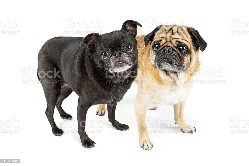 Black and Fawn Color Pugs stock photo
