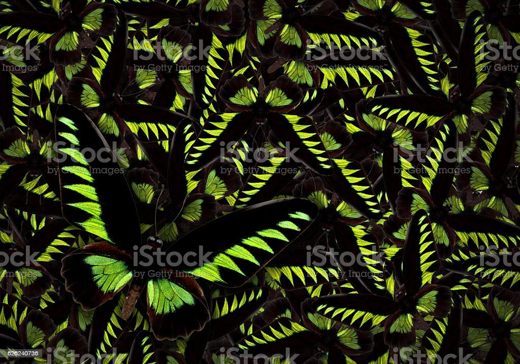 Black and green butterfly Trogonoptera brookiana stock photo