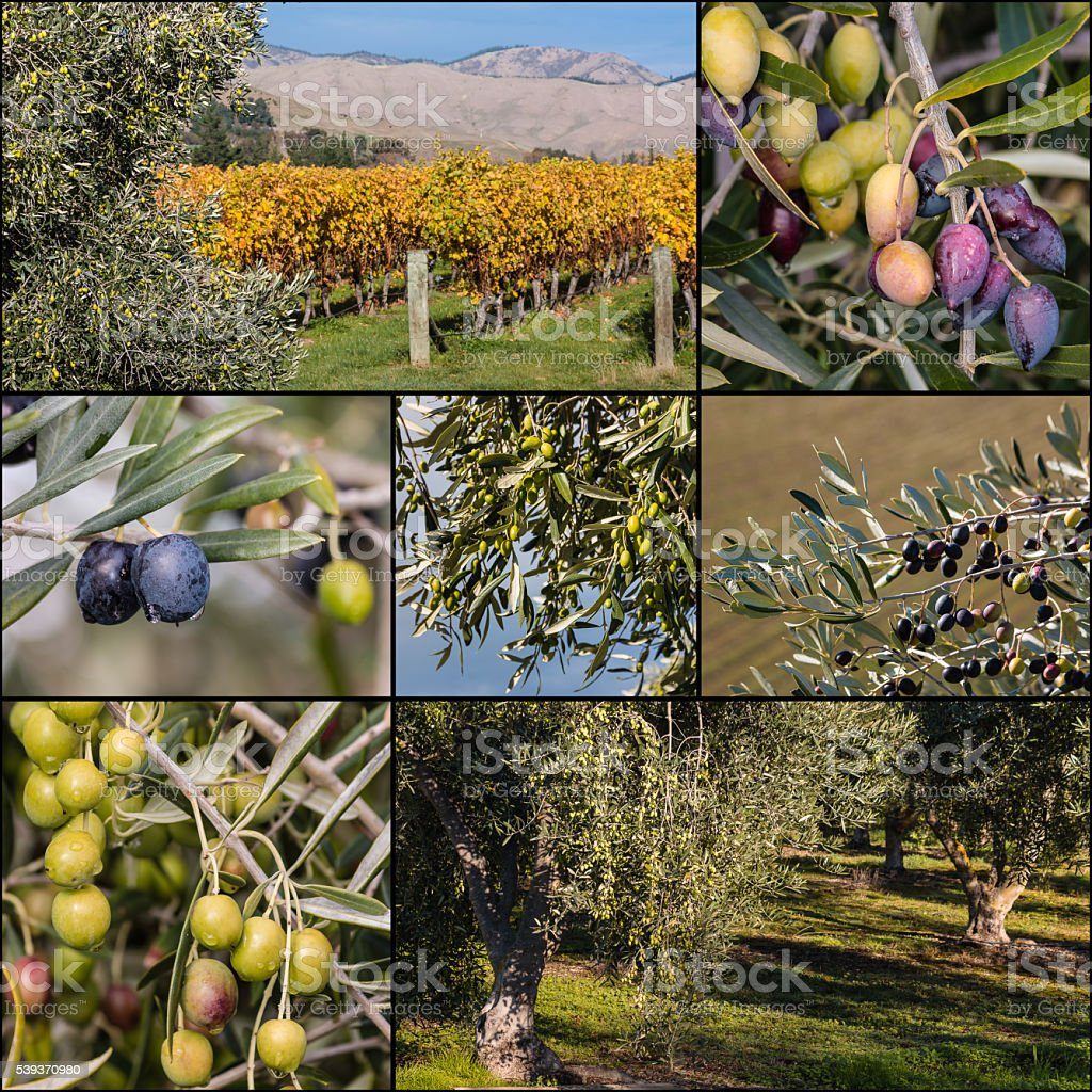 black and green olives on olive tree stock photo