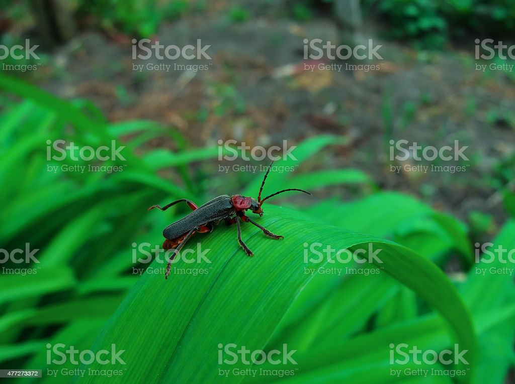 black and red beetle royalty-free stock photo