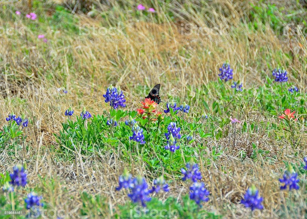 Черный и красный бабочка с bluebonnets и индийского Кисть Стоковые фото Стоковая фотография