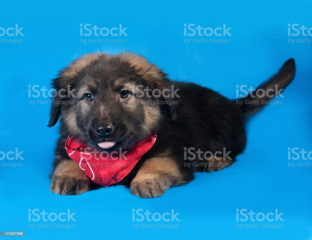 Black and red shaggy puppy  lies on blue stock photo