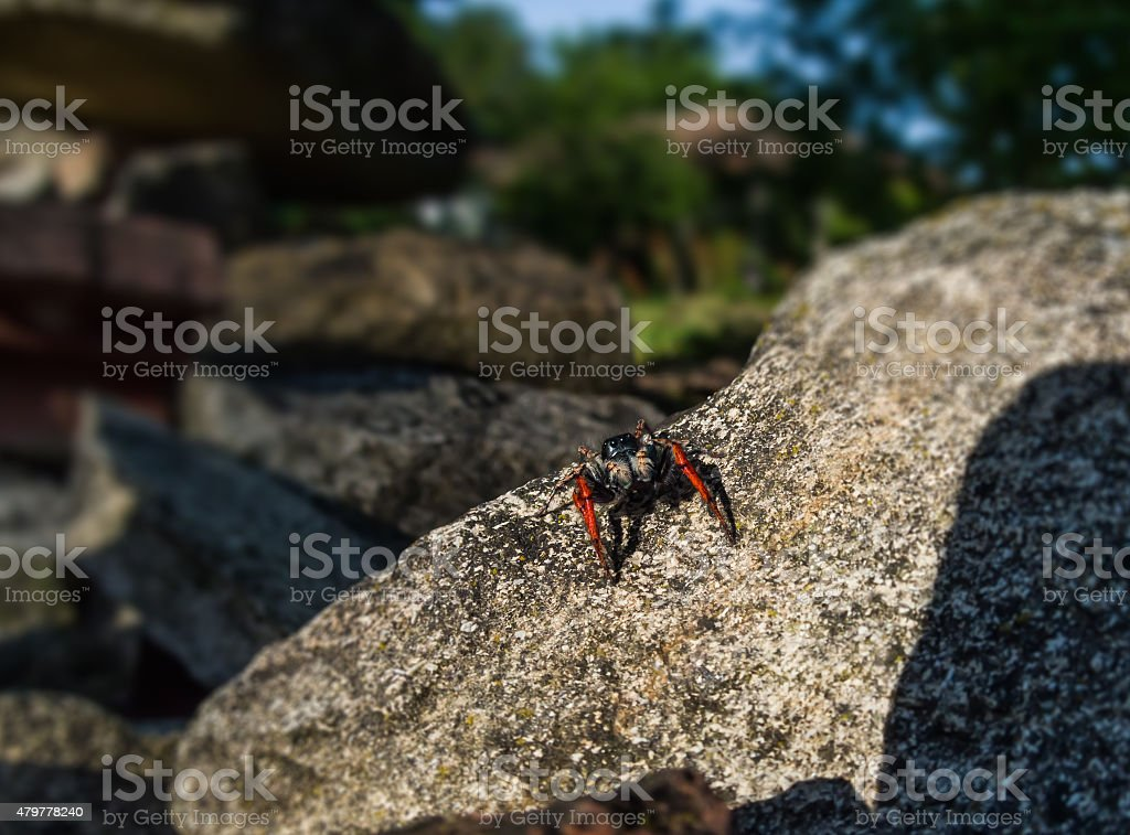 black and red spider royalty-free stock photo