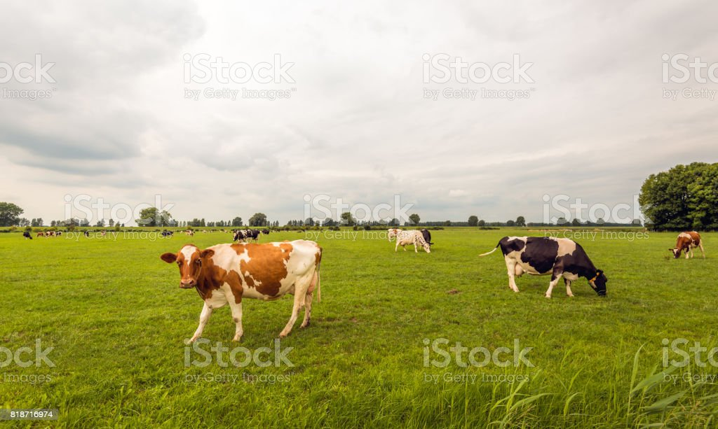 Black and red spotted cows grazing in the Dutch meadow stock photo
