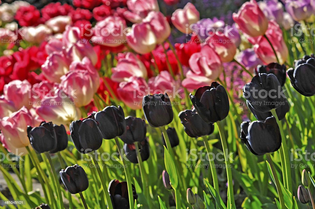 black and red tulips stock photo