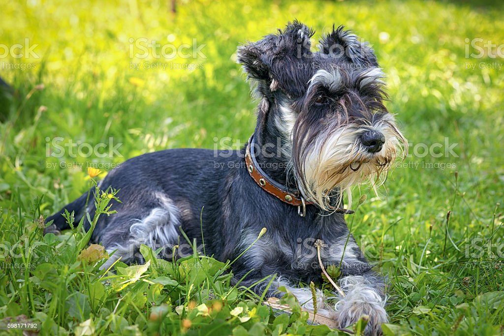 black and silver miniature schnauzer lying on the grass stock photo