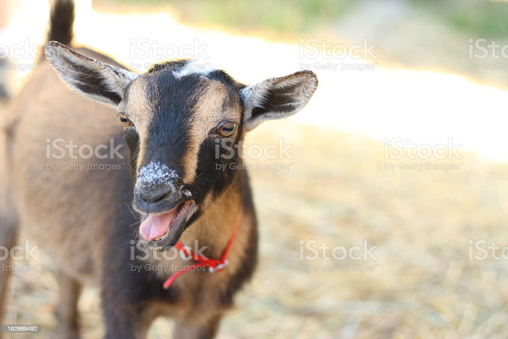 Black and tan goat wearing red collar bleats stock photo