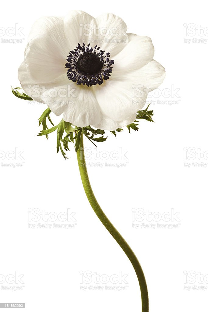 Black and White Anemone Isolated royalty-free stock photo