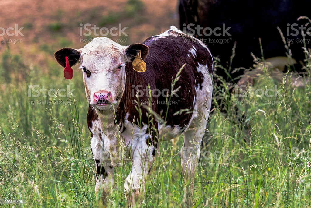 Black and white Angus crossbred calf stock photo