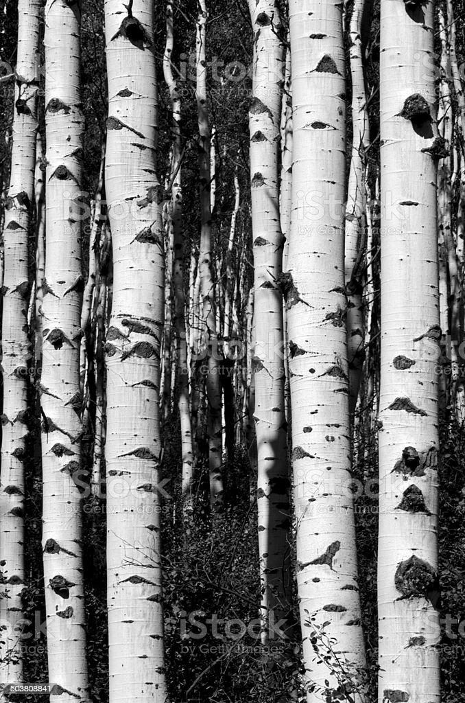 Black and white aspen tree trunks stock photo