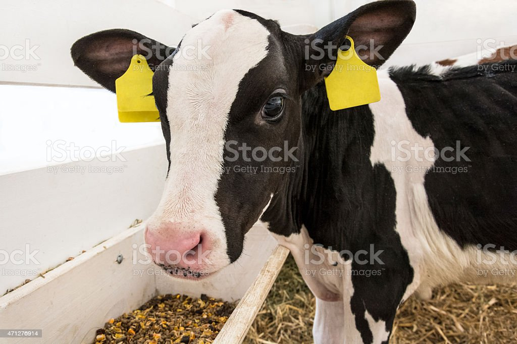 Black and white baby cow in barn at dairy farm stock photo