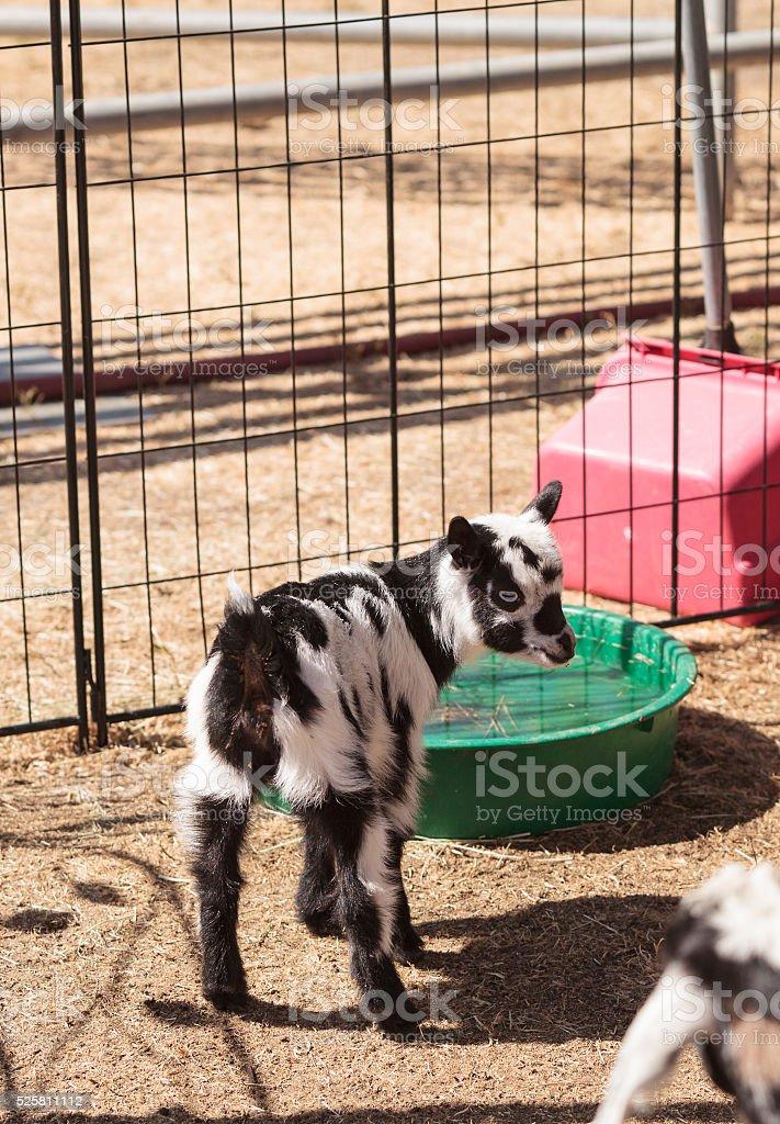 Black and white baby Nigerian dwarf goat stock photo