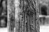 Black and white bark