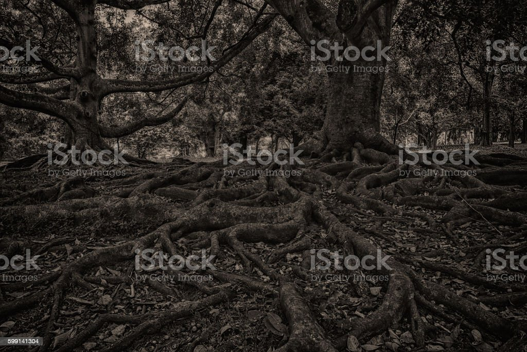 Black and white beech tree and root system stock photo