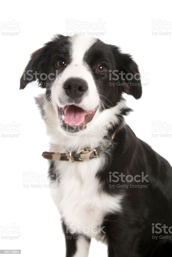 Black and white border collie dog with mouth open stock photo