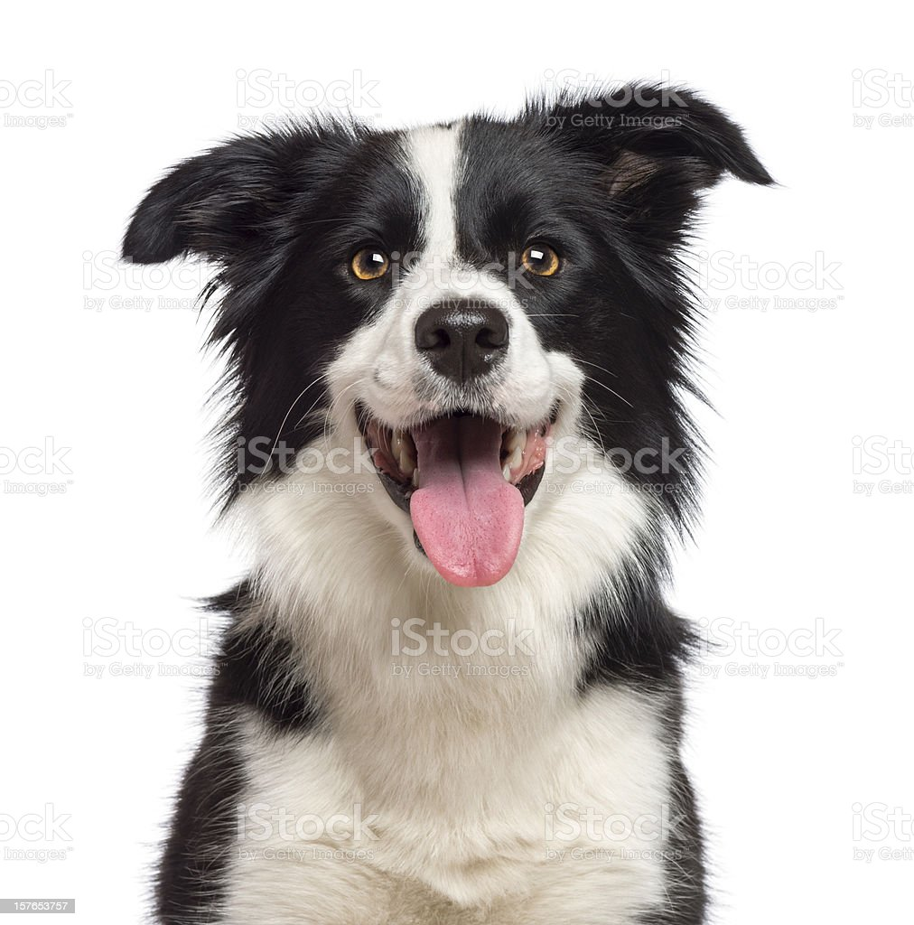 Black and white border collie dog with tongue out stock photo