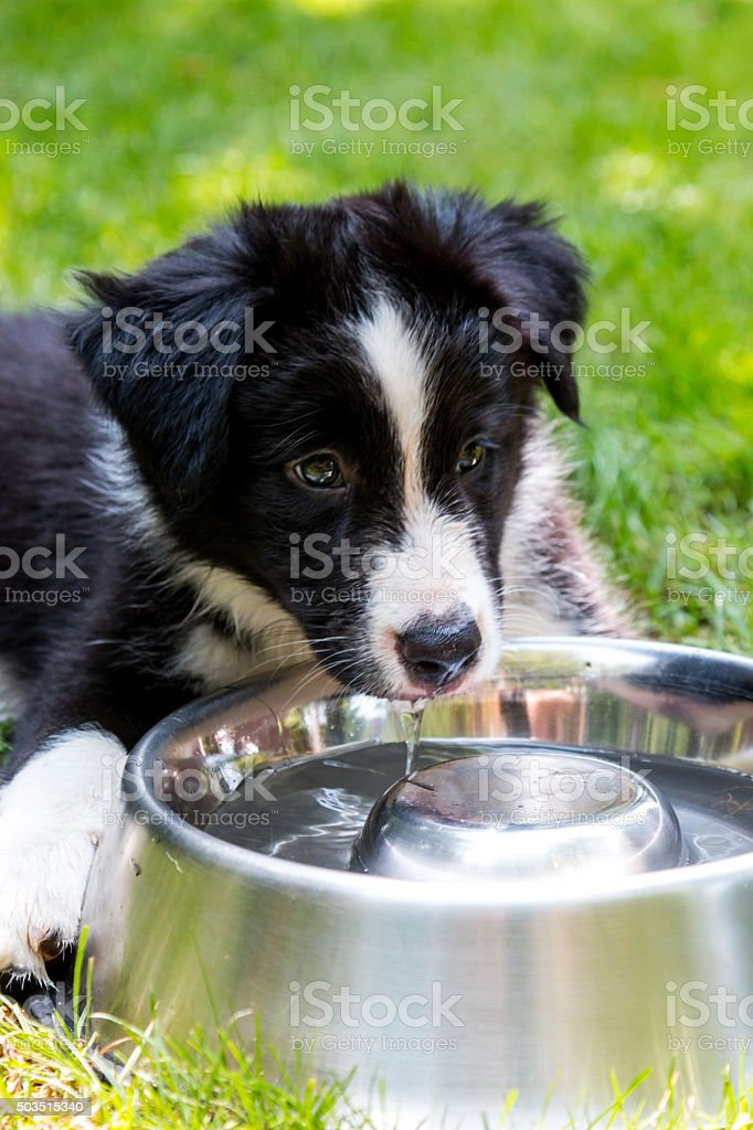 Black and white border collie puppy with bowl stock photo