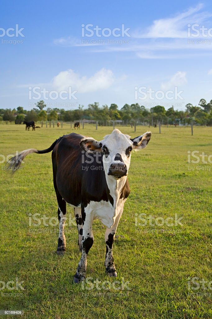 Black and White Brahman Cross Steer Swishing Tail stock photo