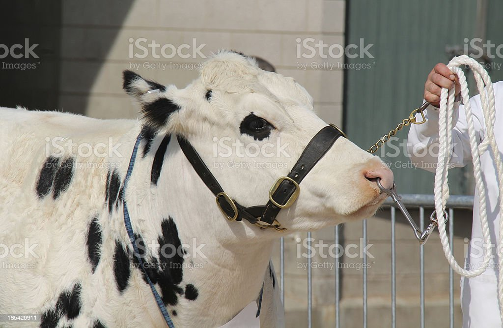 Black and White Bull. royalty-free stock photo