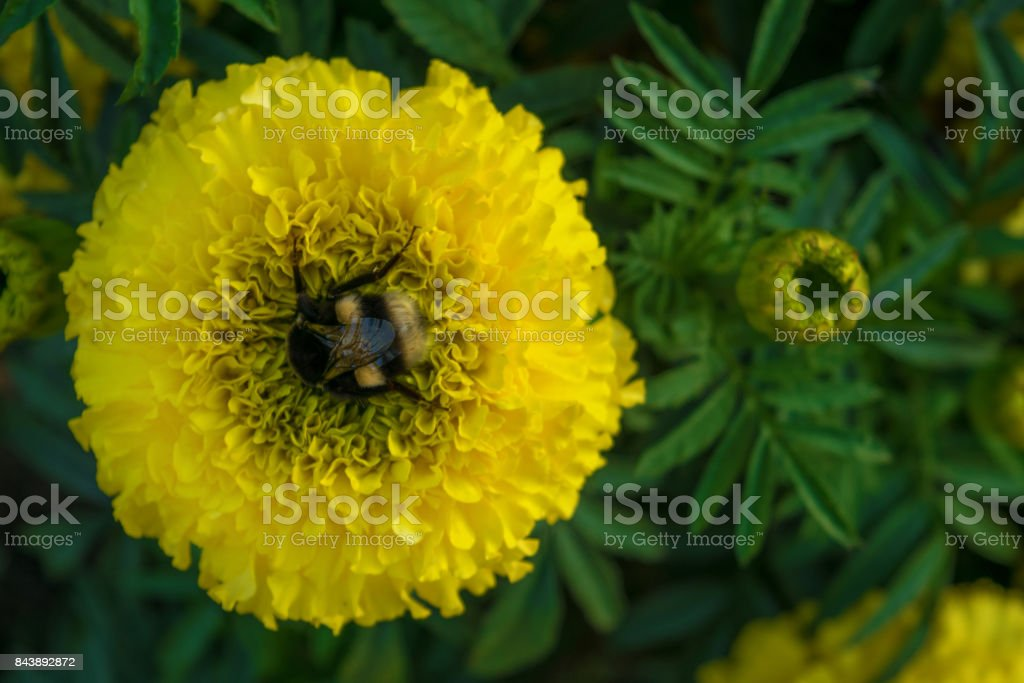 Black and white bumblebee stuck in yellow Tagetes flower. Close up. Blurry background stock photo