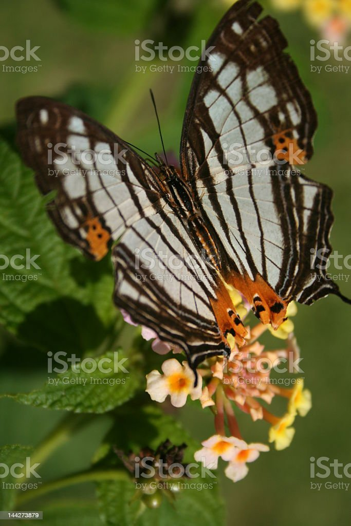 black and white butterfly royalty-free stock photo