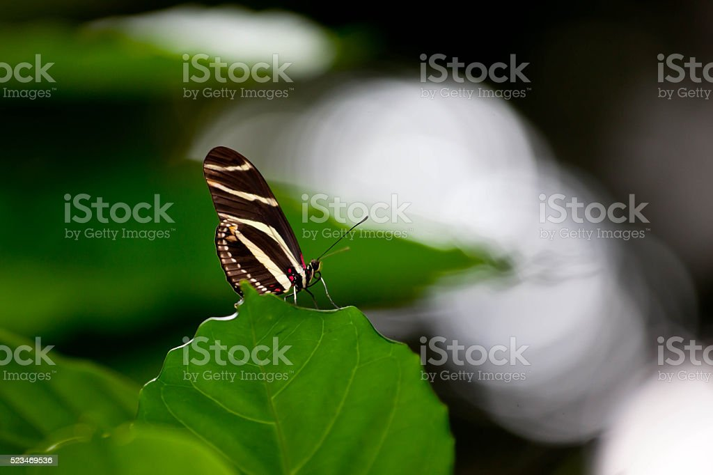 Black and white Butterfly stock photo