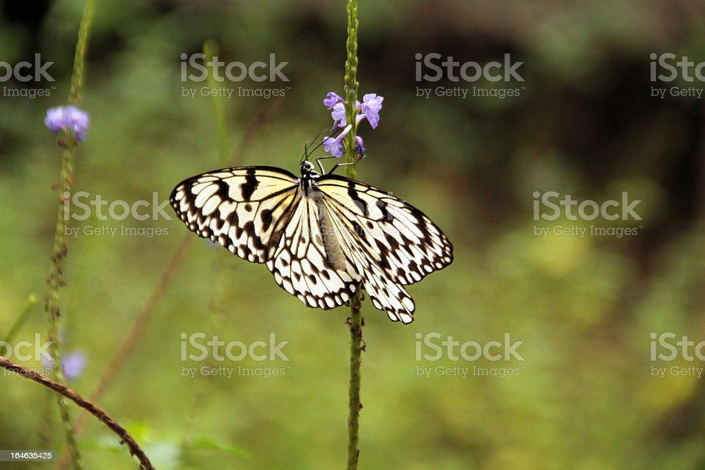 Farfalla in bianco e nero, Xiamen foto stock royalty-free